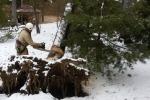 Вырубка старых аварийных деревьев компанией «PROMALP-MOSKVA»